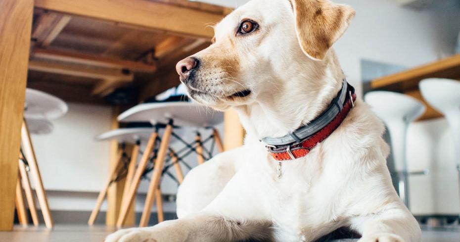 Μεγαλόσωμα σκυλιά σε διαμέρισμα;