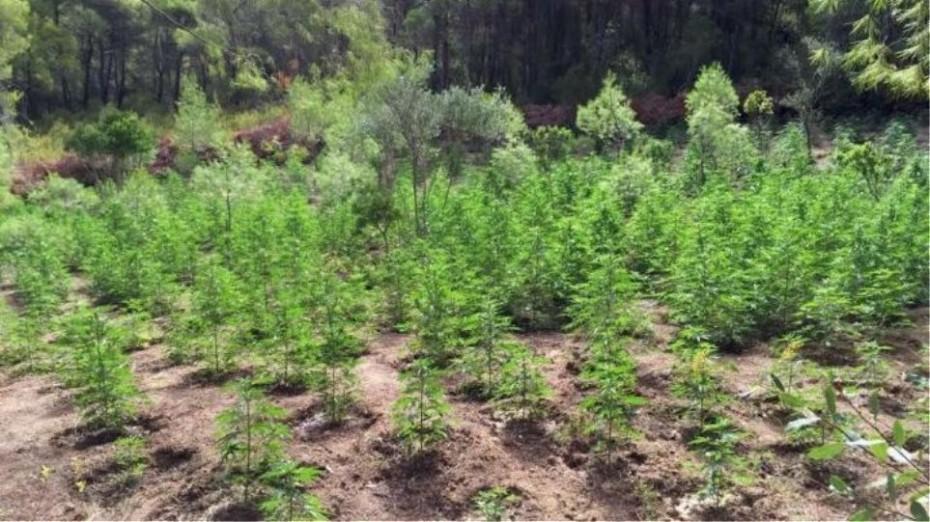Φυτεία κάνναβης βρήκαν στην Κέρκυρα
