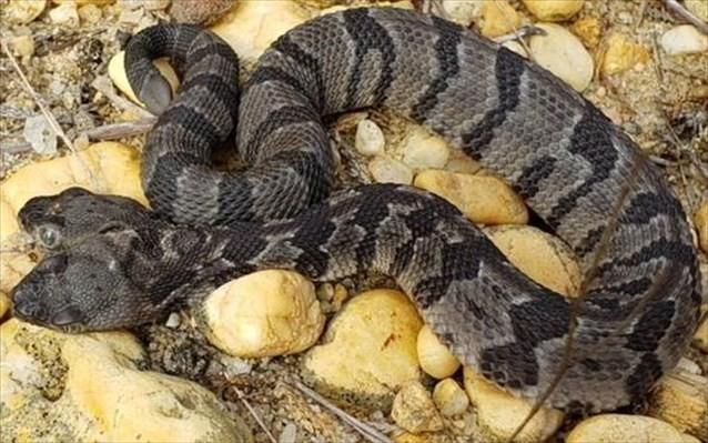 Φίδι με 2 κεφάλια βρέθηκε στις ΗΠΑ